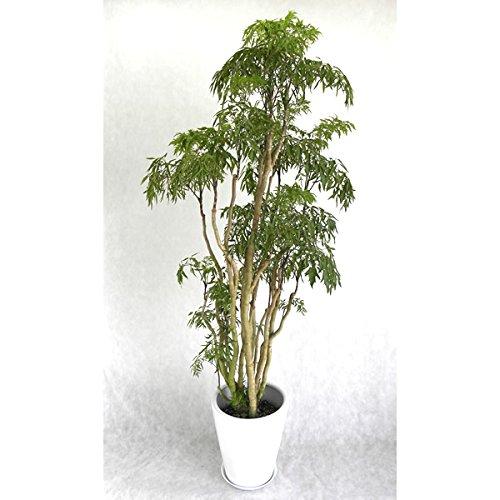 観葉植物 開店祝い ポリシャス10号 (陶器鉢入り受け皿付) 木札・ラッピング付