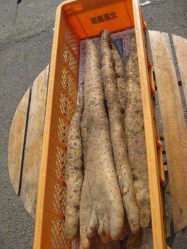 長野県産 春掘り長芋 【訳あり】家庭用向き 2〜10本入り 約5kg箱