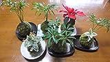 【ノーブランド品 おまかせ苔玉】 ハイゴケを使った苔玉。季節ににあった観葉植物をお選びしてお届けします