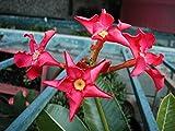【多肉植物/種子】Pachypodium Baronii★パキポディウム バロニー☆深紅の超希少種 [並行輸入品]