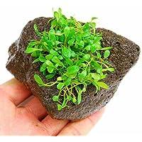 (水草)グロッソスティグマ(水上葉) 穴あき溶岩石付(無農薬)(1個) 本州・四国限定[生体]