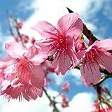 桜 苗木 寒緋桜(カンヒザクラ) 12cmポット苗 さくら苗