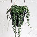 グリーンネックレス4号吊鉢[緑の鈴・多肉植物] ノーブランド品