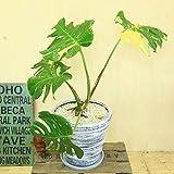 希少植物・観葉植物:斑入りモンステラ デリシオーサ*グラスファイバー鉢入り 受け皿付