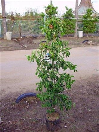 常緑ヤマボウシ ホンコンエンシス・150