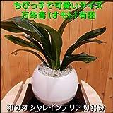 ちびっ子で可愛いサイズの万年青(オモト)有田(ありた) 和風仕上げのホワイトインテリア陶器鉢植え 受け皿付き和風の和み テーブルサイズ(SS-サイズ)