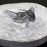 モロッコ産 三葉虫(キファスピス・オタリオン)化石 99g