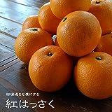 紅八朔 (べにはっさく) 1年生 接ぎ木 苗 柑橘苗 常緑樹 果樹 果樹苗