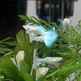 (熱帯魚)RREA・アクアマリンネオン(トパーズ)・グッピー(国産グッピー)(1ペア) 本州・四国限定[生体]