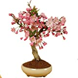 盆栽:垂糸かいどう桜*(春に開花)