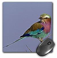 3drose LLC 8x 8x 0.25インチマウスパッド、ライラックBreasted Roller Birdマサイ族Mara Kenya af21aje0784アダム・ジョーンズ( MP _ 131783_ 1)
