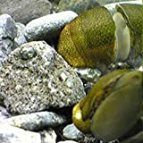 【生体】石巻貝 30個 淡水 コケ取り 淡水貝 川魚 イシマキガイ