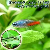 charm(チャーム) (熱帯魚)ダイヤモンド・ネオンテトラ(12匹) + オトシンクルス(3匹) 【生体】