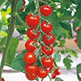 「食味が良く育てやすい多収穫ミニトマト・CF千果 接木苗」【接木苗9cmポット/2個セット】低段から安定して沢山実が成る!!糖度が高く、食味良く果色は濃赤色で光沢がある。果重は15?20g。果形はきれいな球形で果ぞろい抜群!! 自社農場から新鮮直送!!(地域により遅霜にご注意ください)【即出荷/プライム送料込み価格】