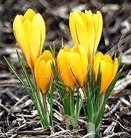 5:クロッカスサフランの球根(サフランの種ではない)イランサフランの球根盆栽の花の種球根の花鉢植えの植物 - 2球根