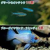 (熱帯魚)グリーンネオンテトラ(10匹) + ブルーダイヤモンド・ラミレジィ(3匹) 本州・四国限定[生体]