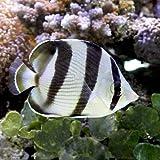 (海水魚)バンデッドバタフライ(1匹) チョウチョウウオ 本州・四国限定[生体]