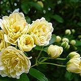 緑のカーテン モッコウバラ 木香薔薇(黄)(大株) トゲなし 常緑つる性低木