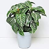 ダニア 6号鉢 アフェランドラ・ダニア 観葉植物 アフェランドラ・スクアローサ・ダニア