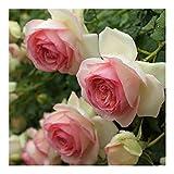バラ苗 ピエールドゥロンサール 国産大苗6号スリット鉢 つるバラ(CL) 返り咲き 複色系