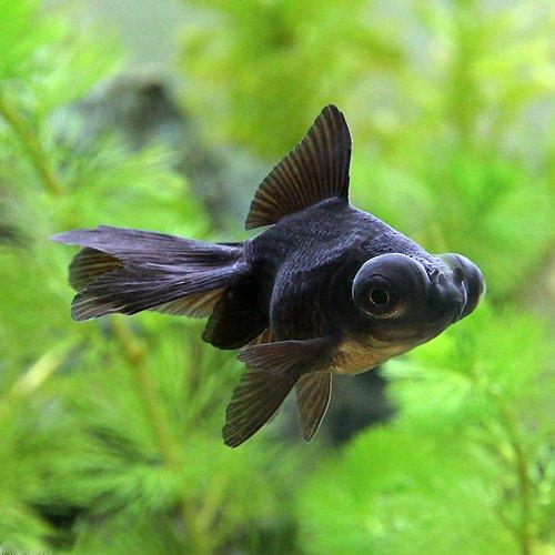 (国産金魚) 出目金(デメキン) 黒(3匹) 本州・四国限定[生体]