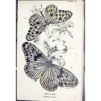 ヘスティアーの考えの Ideopsis Daos の蝶 1896 のロイド Kirby