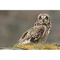その巣の短い鳥のフクロウ - #51843 - キャンバス印刷アートポスター 写真 部屋インテリア絵画 ポスター 90cmx60cm