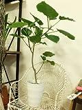 ご自分で鉢を選びたい方にはオススメ!! ご自宅用にインテリアグリーン ウンベラータ 簡易鉢 高さ90cm 観葉植物