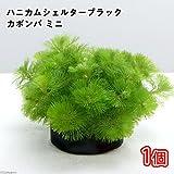 (水草)メダカ・金魚藻 ブラックハニカムシェルター カボンバ ミニ(1個) 本州・四国限定[生体]