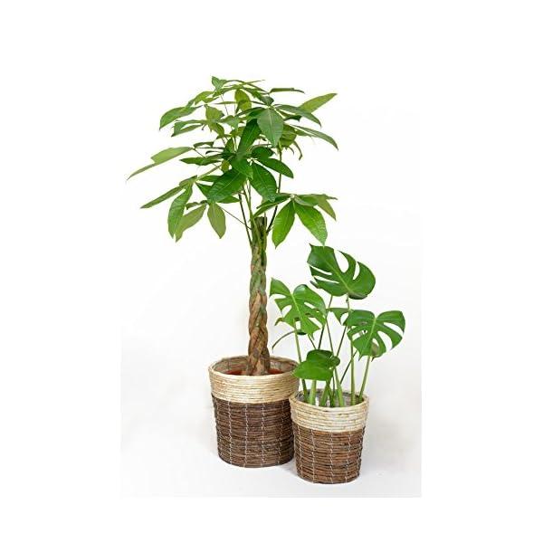 観葉植物 8号+6号セット パキラ8号・モンステラ6号の商品画像
