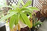 食虫植物 観葉 うつぼかづら ネペンテス ペントリコーサ つるし5寸鉢 【送料込】