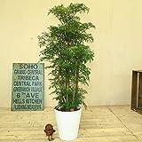 観葉植物:ポリシャス タイワンモミジ*白セラアート鉢 バークチップ