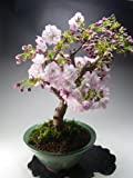 【バーゲン・セール】盆栽 桜 八重桜の鉢植え盆栽 葉桜です。