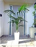 【送料無料】ロングスクエア陶器鉢仕立ての綺麗なケンチャヤシ/170cm前後(10号)