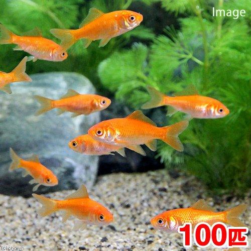 charm(チャーム) (金魚)生餌 小赤 エサ用金魚 大和郡山産(100匹) エサ金 餌金 【生体】