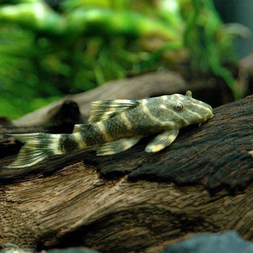 (熱帯魚) タイガープレコ(1匹) 本州・四国限定[生体]