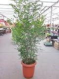 シマトネリコ 10号 観葉植物