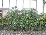 【1年間枯れ保証】【葉や形を楽しむ木】ヒイラギナンテン 10.5cmポット