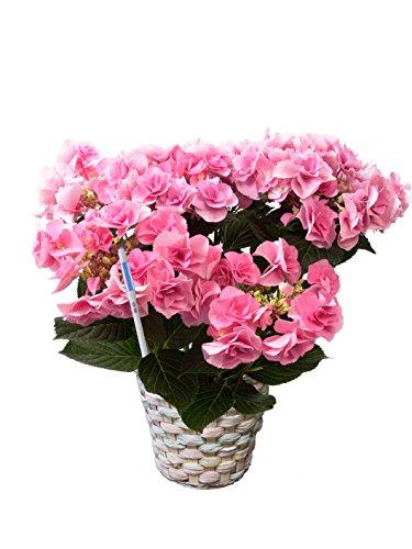 【産地直送】母の日あじさい「フェアリーアイ」ピンク 5号鉢バスケット・水分計つき
