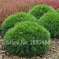 3:1Bag = 40Pcs盆栽登山スプルース種子松の木の種盆栽中庭庭の植木鉢プランター