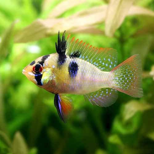 (熱帯魚)ジャーマン・ラミレジィ(国産ブリード)(1ペア) 北海道・九州・沖縄航空便要保温