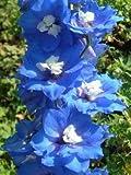 【PLANT】Delphinium Blue Nile デルフィニウム・ブルー・ナイル・苗