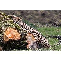 チチ:苔むさった木のログAnimal - #43134 - キャンバス印刷アートポスター 写真 部屋インテリア絵画 ポスター 90cmx60cm