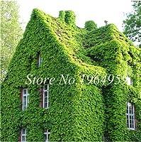 種子 - ビッグセール!100個/バッグ盆栽エキゾチックボストンアイビーグリーンコートヤードクライミングアウトドアクリーパーグリーンアイビー植物ホーム&ガーデン:7