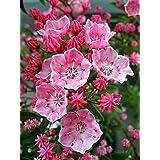 """あなたが受け取るスターターシードは、2.5"""" 鍋に成長している。マウンテンローレルもSpoonwoodとして知られている(カルミアがラティフォリア)、その花を毎年春に美しい常緑低木である。ユニークな星形の花がタイトなクラスタと満開の中で形成します7月を通して月上旬。"""