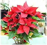ポインセチア鉢植えかご付 真っ赤なポインクリスマスフラワー