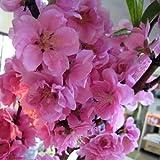 [3月の桃の節句の頃開花する八重咲き人気品種]花桃:矢口桃(ヤグチモモ)ピンク花4~5号ポット