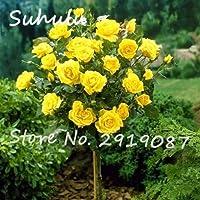 1:100個/バッグバラの木の種子、盆栽ドワーフの木の花の種、中国のバラの木の植物のバルコニー&アンプ;ヤード鉢植えの植物はあなたの庭を照らす