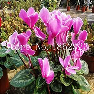 100のシクラメンの花盆栽、屋内鉢植え、多年生の顕花植物バルコニーガーデン盆栽用シクラメンの花の植物:6