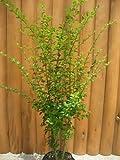 プリペット樹高1.0m前後 生垣に人気のある常緑樹です♪